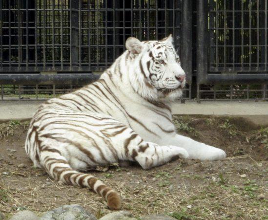 N Tiger B 20181009