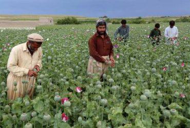 Poppy Buds On The Outskirts Of Nangarhar