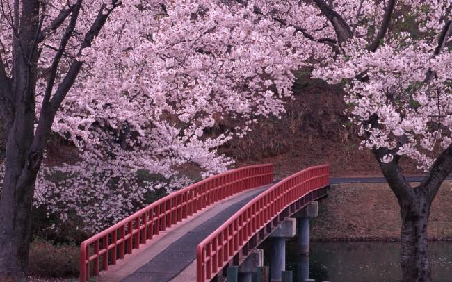 Cherry Blossom Bridge Trees 25591 Resized