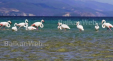 Flamingo Ne Pogradec.6png