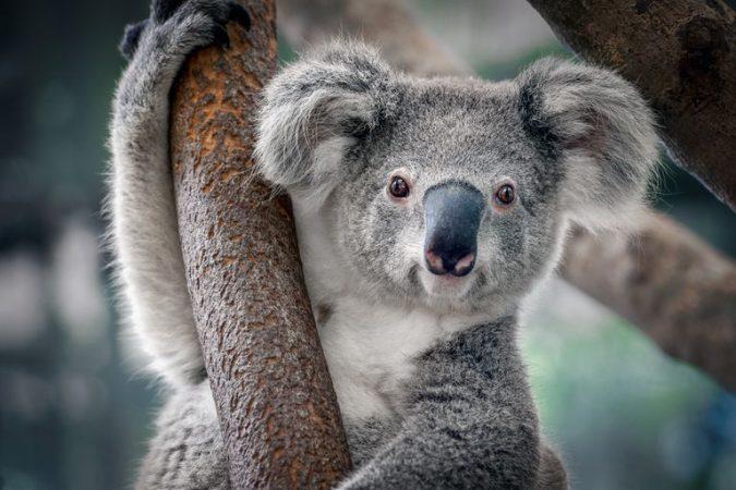 Opt Aboutcom Coeus Resources Content Migration Mnn Images 2019 05 Koala 0f87652acc244db2ba7d2e231c868f16