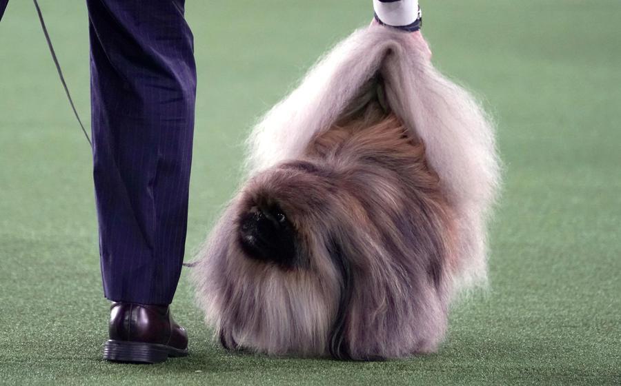 Usa: Un Pechinese Di Nome Wasabi è Il Cane Più Bello
