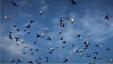 T 36b56cd868fb4114b1cc0d64c3a6227c Name Hundreds Of Thousands Of Migratory Birds 5f61f3dc0a148930ff8da509 1 Sep 16 2020 11 26 53 Poster
