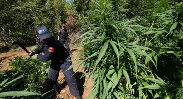 Shkoder Kanabis Policia E Shtetis Askion Per Asgjesim Droge 587x319 1